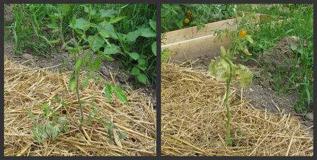 tomates06072010_4