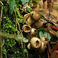 Vesse de loup en poire - Lycoperdon piriforme