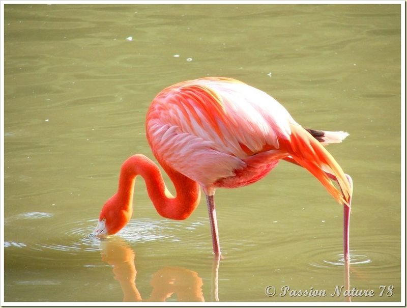 Les flamants roses (12)