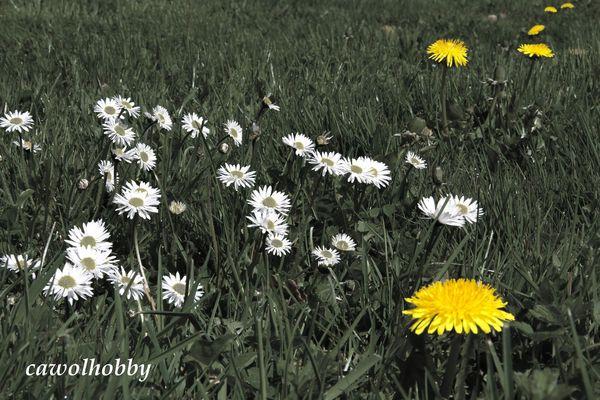 Fleurs_des_champs_N_B