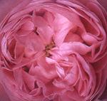 rosacentifolia