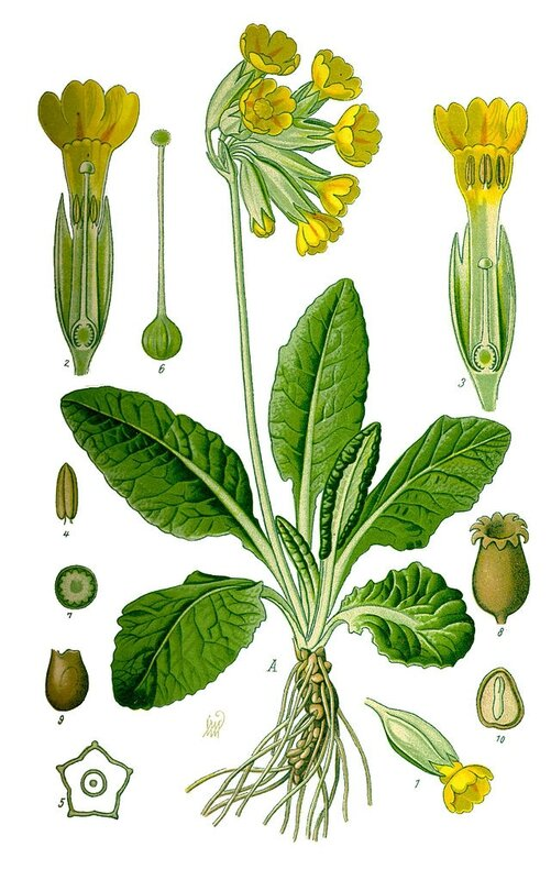 Illustration_Primula_veris0_clean
