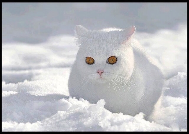 chat blanc neige