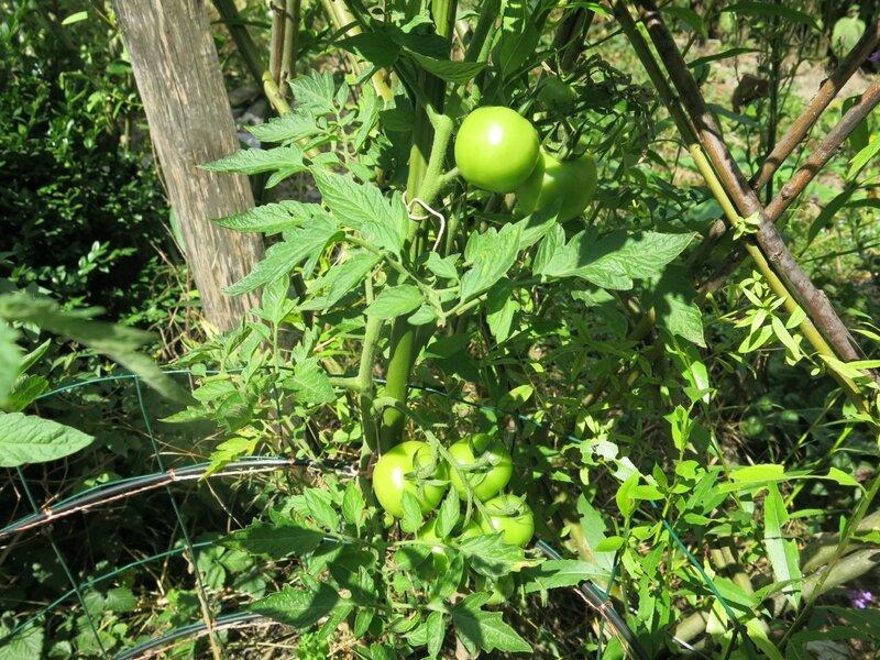 tomate spot