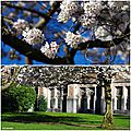 Cherry blossom Seattle 4