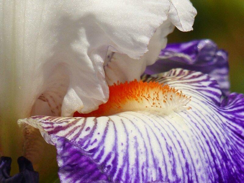 iris bal masqué