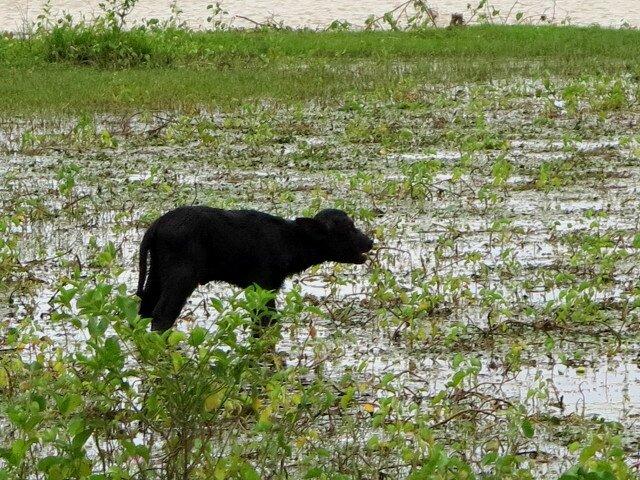 Marajo Fazenda bufflon