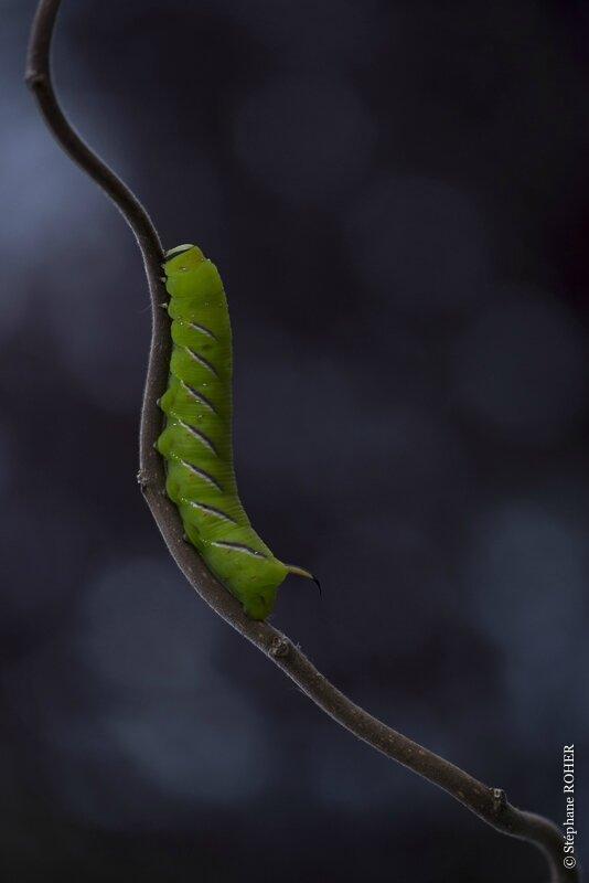 Sphynx du troène b (chenille)