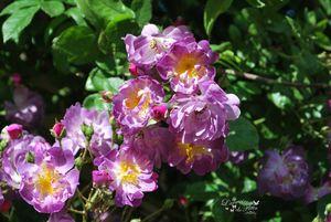 Fleur au jardin juin 2012 172 copie