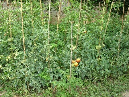 jungle_de_tomates