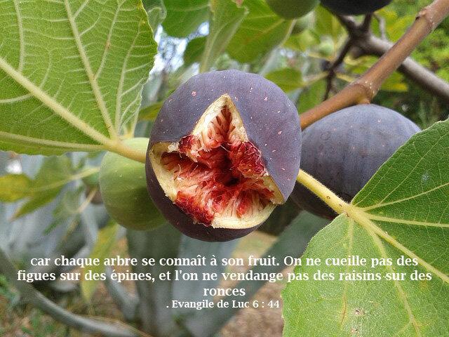 figues_verset_biblique