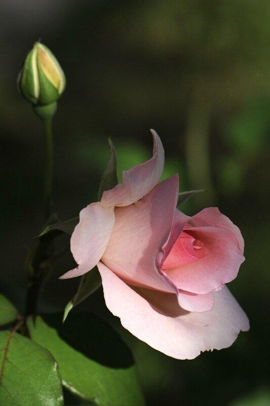 Rose et son bouton