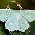 Phalène du thym: comme un trésor de jade