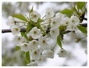 Fleurs_Merisier_20