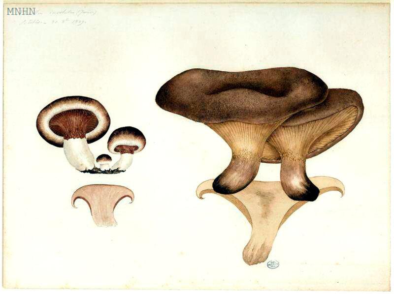 149 Paxillus involutus