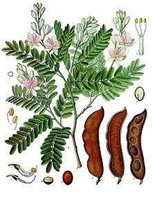Tamarindus_indica_-_Köhler–s_Medizinal-Pflanzen-134