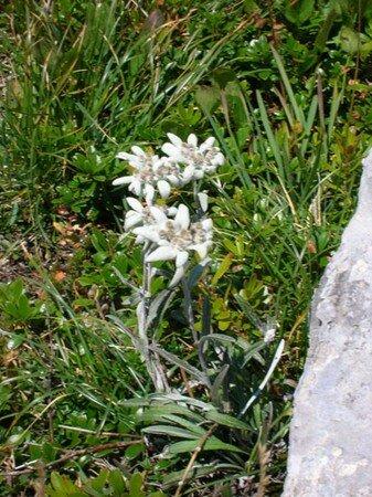 edlweiss