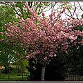 Cerisier fleurs 210415