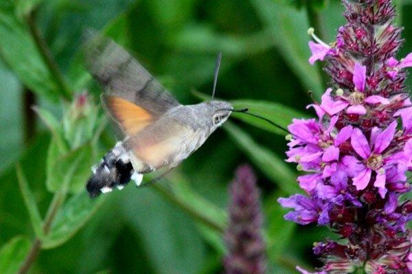 colibri-b