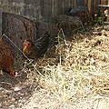 Les poules se suivent mais ne se ressemblent pas !