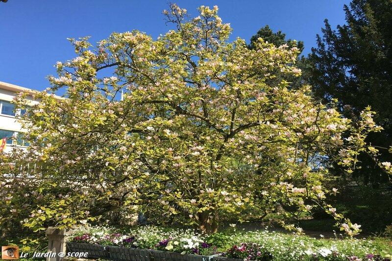 Magnolia - jardin du musée de l'École de Nancy