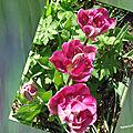balanicole_2017_05_le printemps des tulipes_12_triplette rose fushia