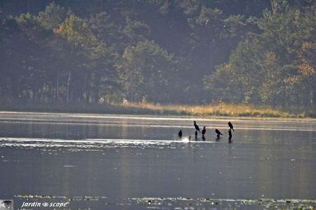Cormorans sur l'étang