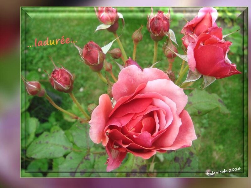 balanicole_2016_11_les nouveaux rosiers de balanicole_L comme ladurée_04