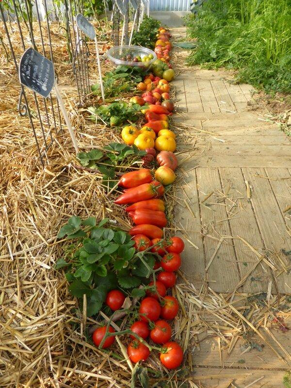 30-tomates du jour (2)