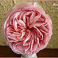 ♥ la fée des roses vous présente les roses pierre de ronsard ♥