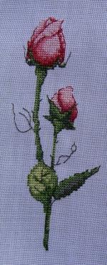 boutons de roses1
