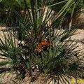 palmier doum