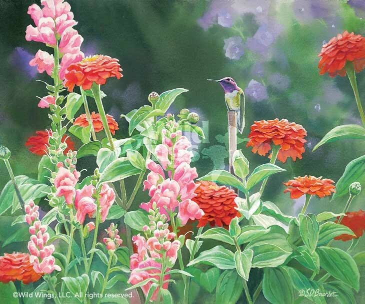 susan-bourdet-original-watercolor-painting-costas-hummingbird-in-zinnias-3