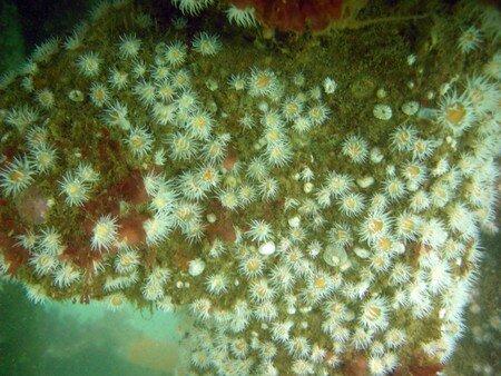 anemones_marguerites