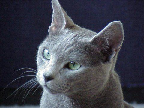 bleurusse ou Chat de Malte