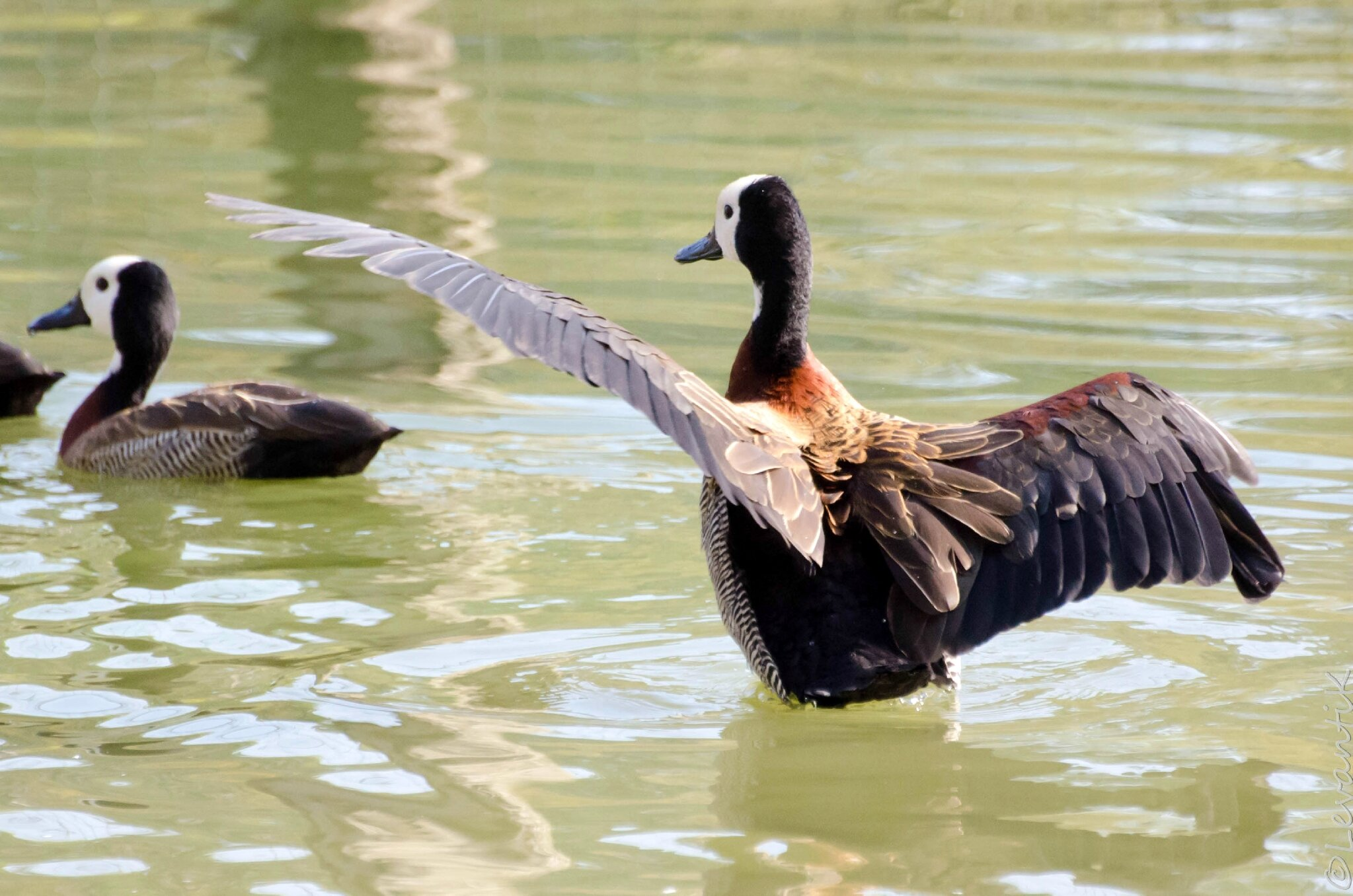 White-faced whistling duck (1)