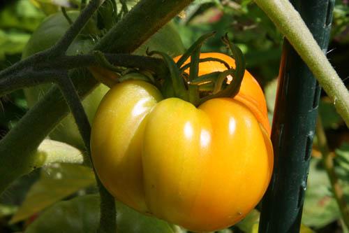 tomates jfaunes