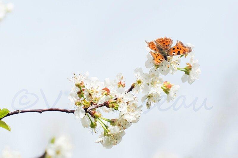 papillon-cerisier14-02