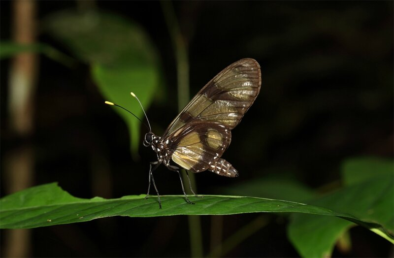 Heliconidae sp.