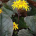 ligularia dentata Britt Marie Crawford (détail)