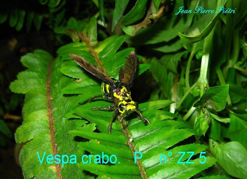Vespa crabo n° ZZ5