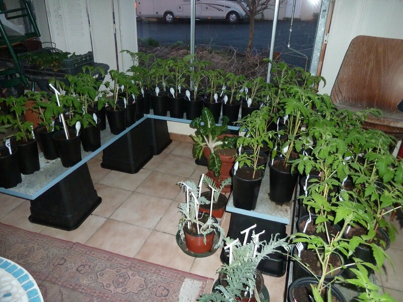 22-tomates serre froide (5)