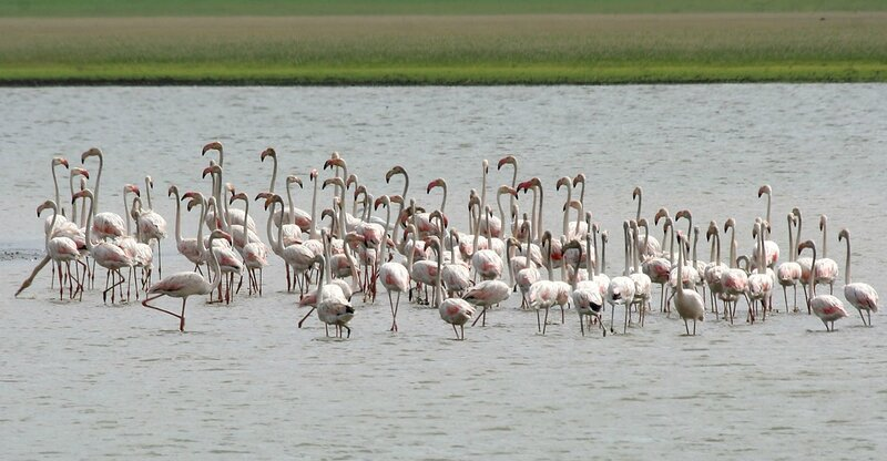 Greater_Flamingoes_(Phoenicopterus_roseus)_W_IMG_9771