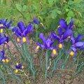 iris z. hollandica gypsy beauty (jardin)