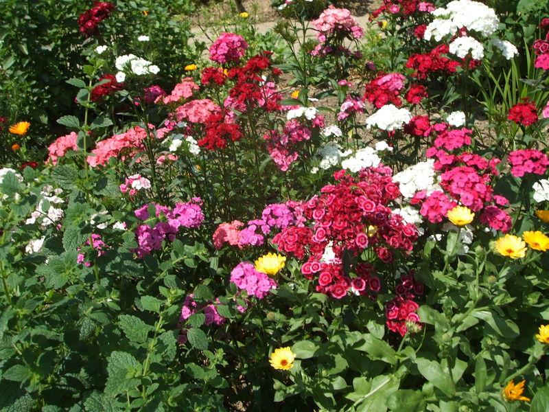 Oeillets du po te photo de dans notre jardin des - Oeillets de poete ...