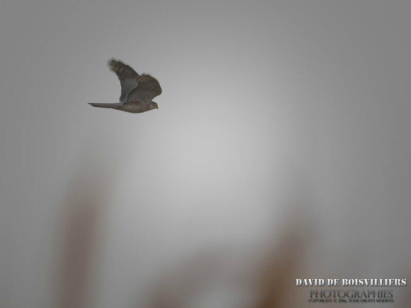 Épervier d'Europe (Accipiter nisus - Eurasian Sparrowhawk)