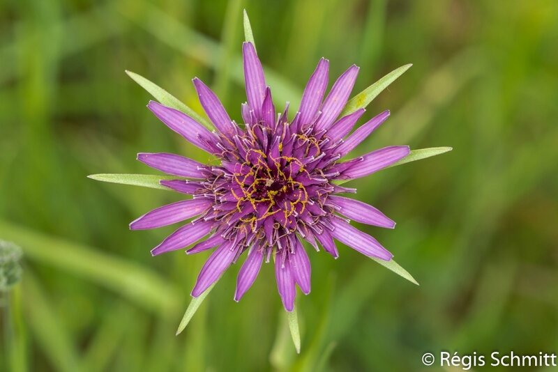 Tragopogon porrifolius_Salsifis_Asteraceae 2017 05 07a3