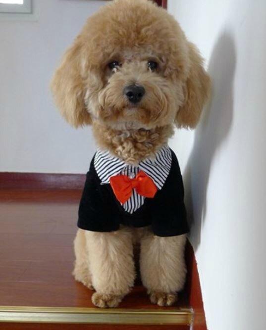 costume de c r monie pour chien m le taille m ou xs r f rch male perle des pyr n es. Black Bedroom Furniture Sets. Home Design Ideas