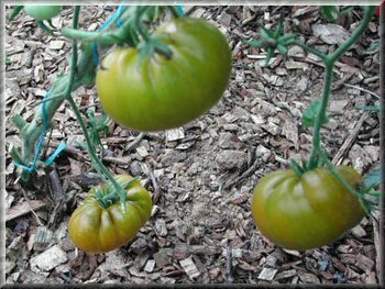 10 - tomates charlie-s green - www.passionpotager.canalblog.com