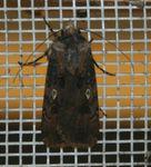 Agrostis longidentifera ranavalo 01